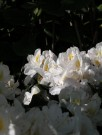 Rhododendron Alperose ´Cunninghams White´ thumbnail
